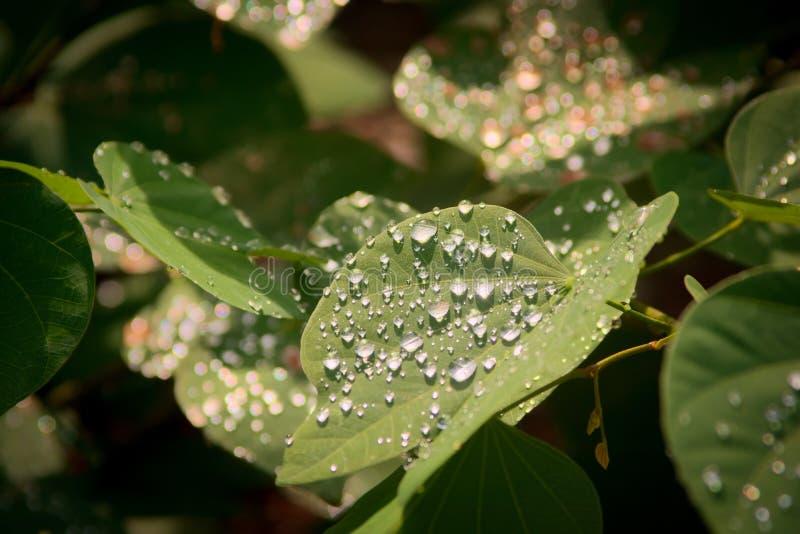 Regentropfen glitzern nach kurzen Regenfällen auf der Sonne über grünen Blättern stockfotografie