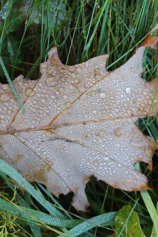 Regentropfen liegen auf einem trockenen Blatt der Eiche stockfoto