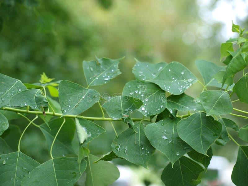 Regentropfen rollen leicht unten die Blätter eines Herz-Baums stockfotos