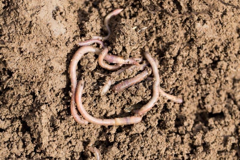 Regenwürmer auf Boden Makro stockbild