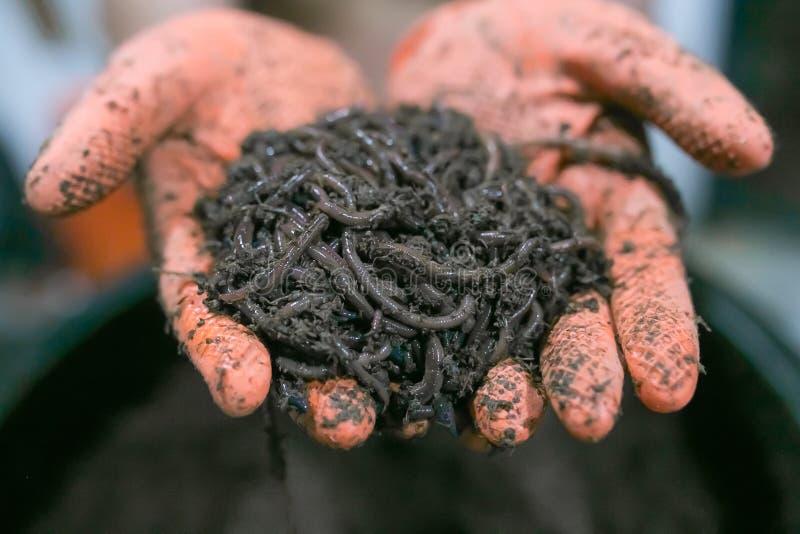 Regenwürmer in den Händen stockfoto