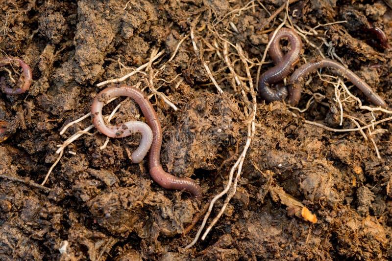 Regenwürmer, die um Stapel des Komposts durchstreifen stockbilder