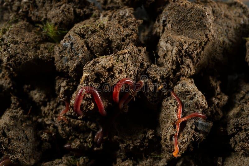 Regenwürmer im Boden mit trockenen Blättern stockbilder