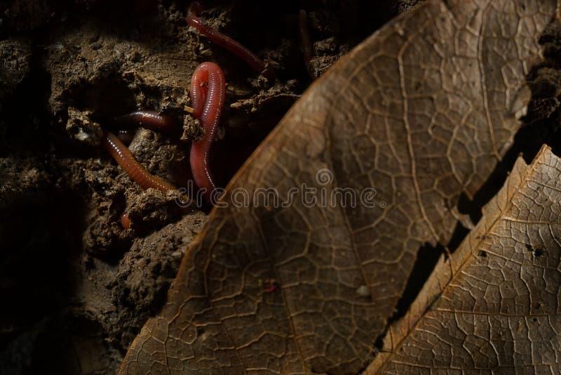 Regenwürmer im Boden mit trockenen Blättern lizenzfreie stockbilder