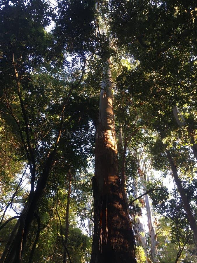 Regenwaldbäume lizenzfreies stockfoto