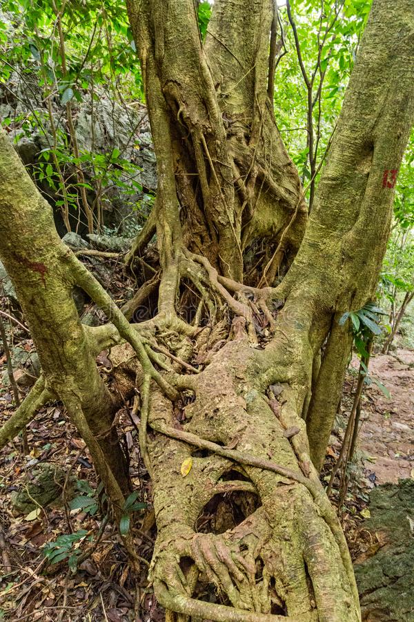 Regenwaldlandschaft, tropischer Baum des Waldes wurzelt grünen Wald stockfotografie