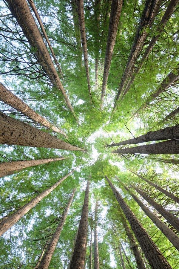 Regenwaldrotholzbäume stockfoto