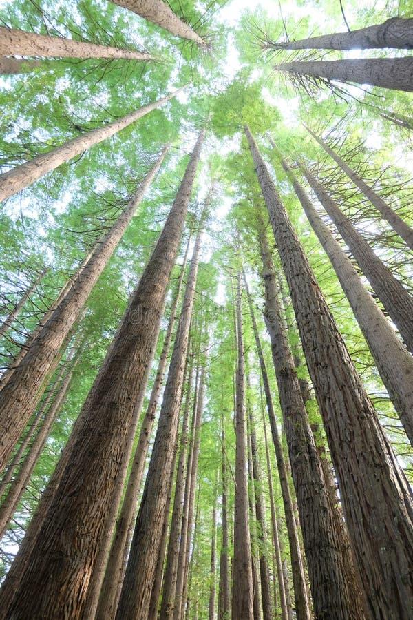 Regenwaldrotholzbäume stockbild
