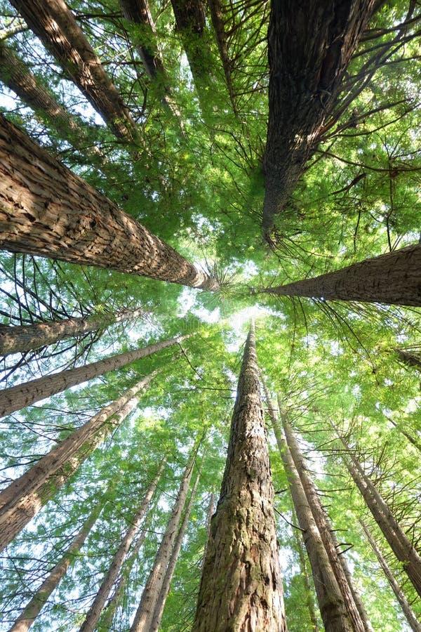 Regenwaldrotholzbäume lizenzfreie stockfotos