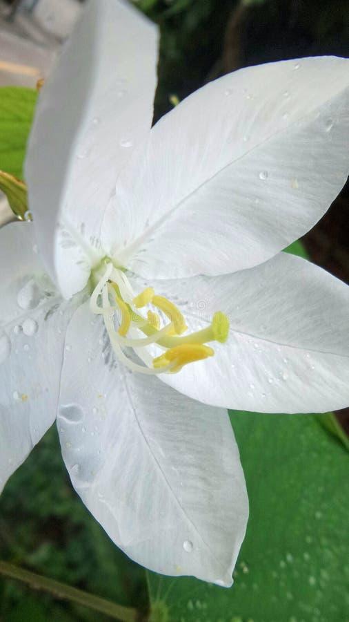 Regenwasser fällt auf weiche Pedale und grünes Blatt der weißen Snowy-Orchideenblume im tropischen Park stockfotografie