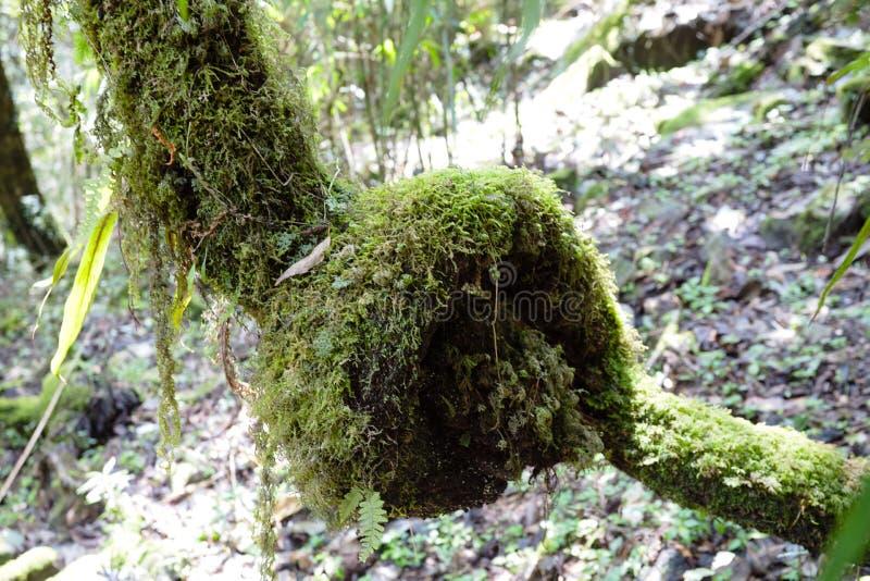 Regenwoud in de bergen van Himalayagebergte, Nepal Stormachtige groene vegetatie met mossen en wijnstokken stock fotografie