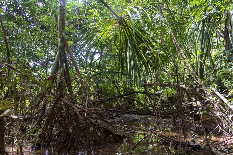 Regenwoud de wandelingsweg overstroomde met regenwater in het nationale park van Madidi, Bolivië stock fotografie