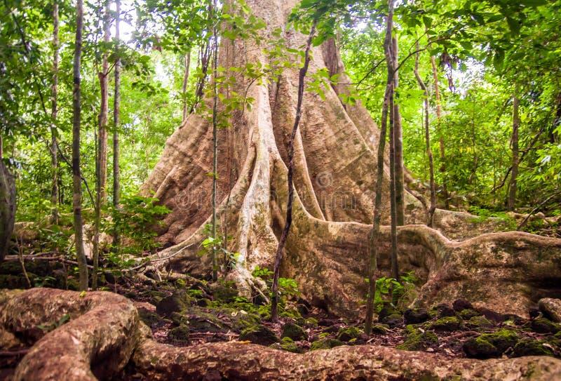 Regenwoudboom met steunpilaarwortel stock afbeeldingen