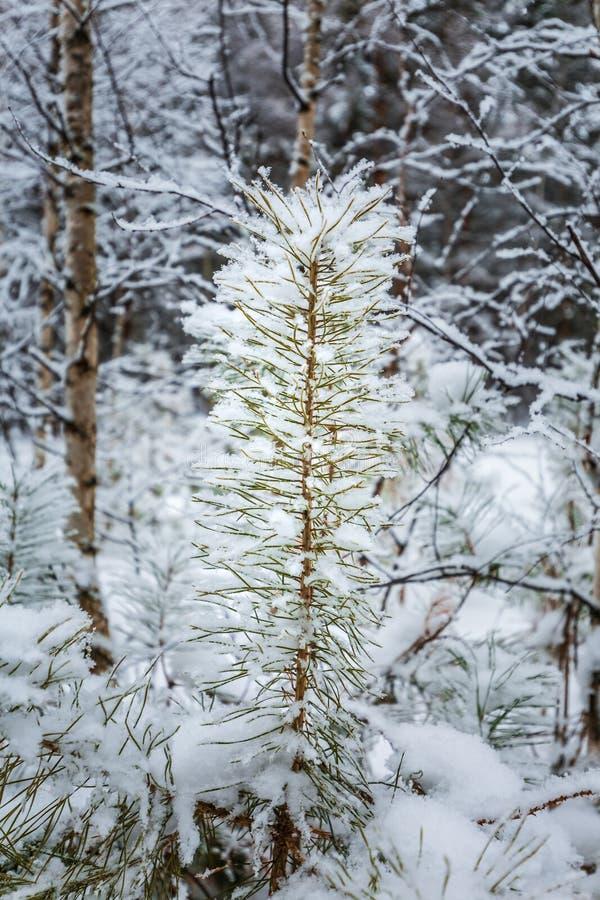 Região de Novosibirsk da floresta do inverno, Sibéria, Rússia foto de stock