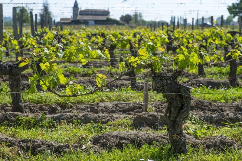 Região do vinho do Bordéus em papoilas de france no countrysi do vinhedo imagem de stock