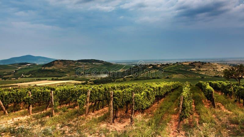 Região do vinho no verão fotografia de stock royalty free