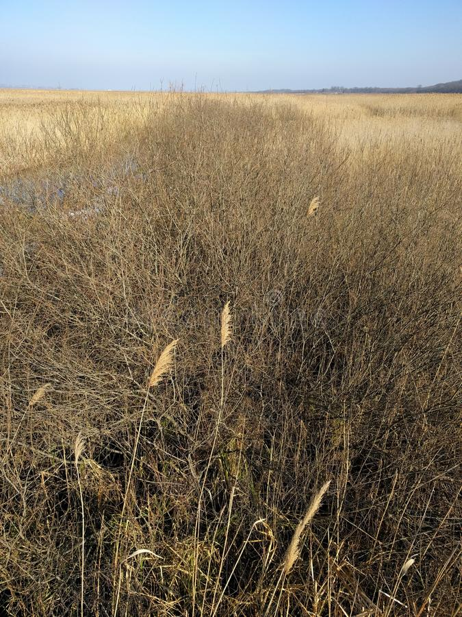 Região pantanosa de Reed e de erva daninha fotografia de stock