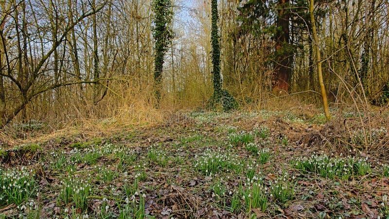 Região selvagem da floresta com snowdrops no assoalho - galanthus imagem de stock