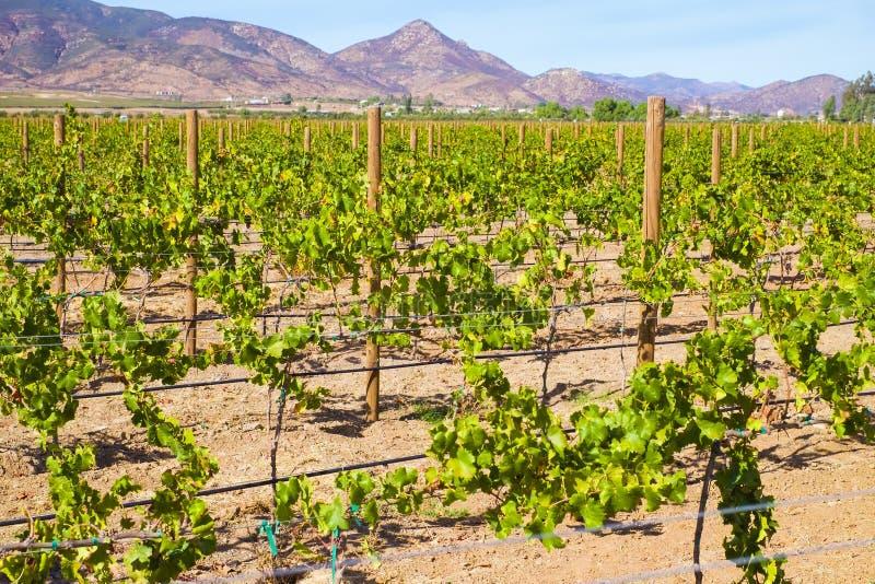 Região vinícola, Baja, Ensenada, México fotos de stock royalty free