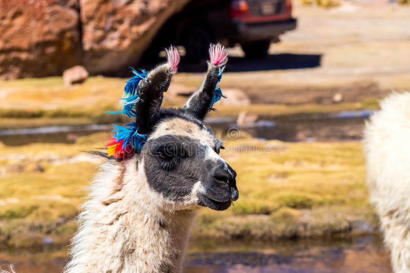 Región de Bolivia, los Andes, llama, primer del lama imagen de archivo libre de regalías