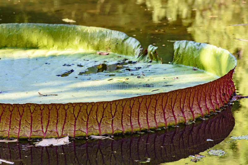 Regia de Victoria que flutua sobre águas do lago fotos de stock royalty free