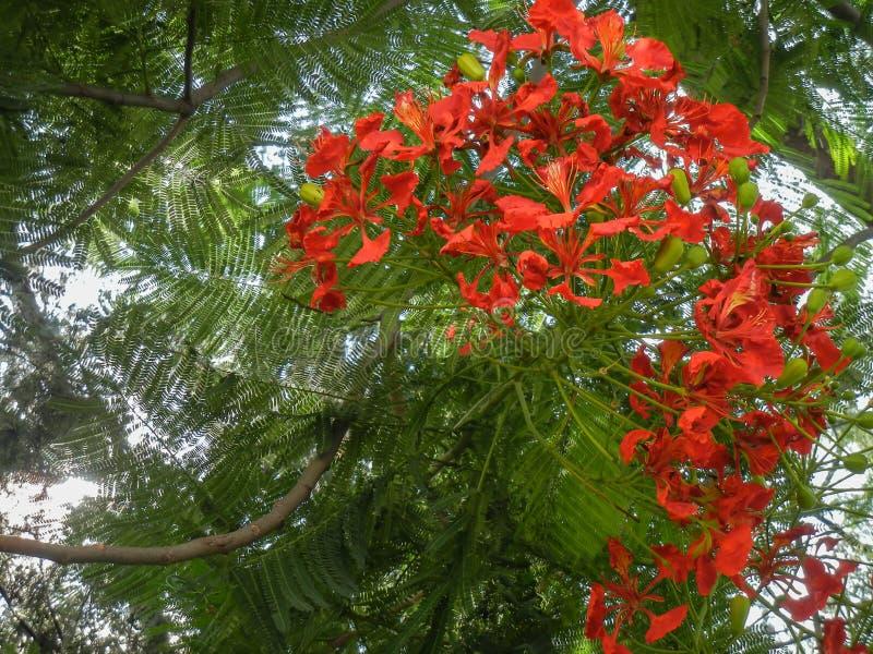 Regia Delonix ένα ανθίζοντας φυτό που αυξάνεται το καλοκαίρι με το πορτοκαλί βασιλικό poinciana λουλουδιών, με τα φρούτα στοκ εικόνες