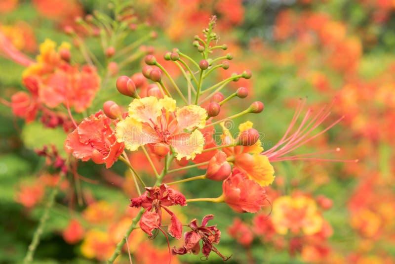 regia Delonix цветка стоковые фотографии rf