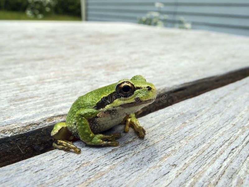 Regilla pacifico dello Pseudacris della rana di albero fotografia stock