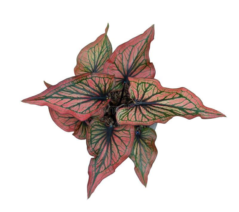 Regina del Caladium dell'isolato frondoso di vista superiore delle piante su fondo bianco royalty illustrazione gratis
