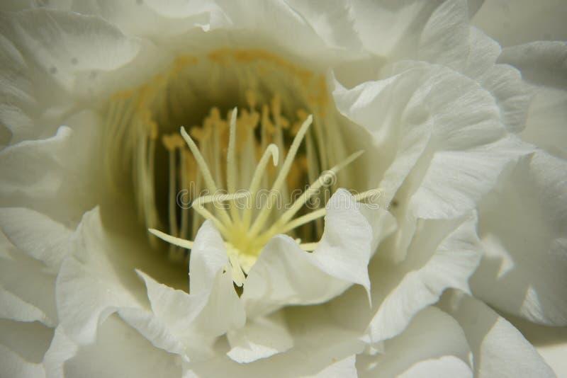 Regina del fiore del cactus di notte fotografia stock libera da diritti