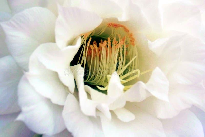 Regina del fiore del cactus di notte immagine stock libera da diritti