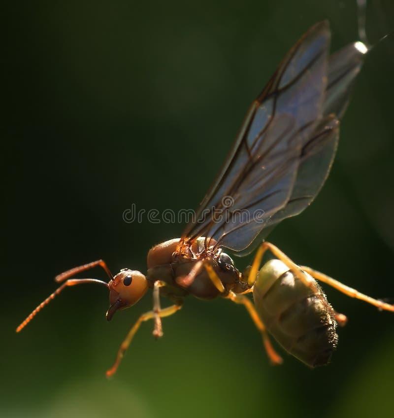 Regina della formica bloccata su un Web di ragno fotografia stock
