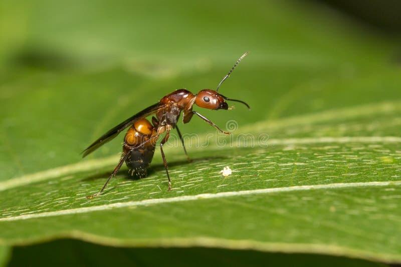 Regina della formica sulla foglia immagini stock libere da diritti