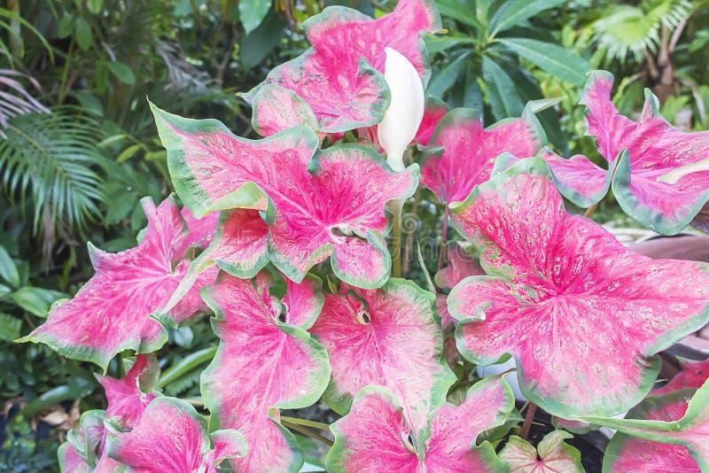 Regina delle piante frondose, Caladium immagini stock