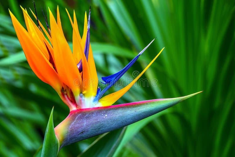 Reginae coloridos del strelitzia de la ave del paraíso en la plena floración fotos de archivo libres de regalías
