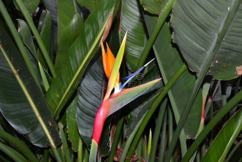 Reginae de florescência do Strelitzia imagens de stock