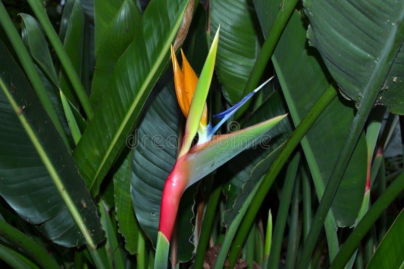 Reginae de florescência do Strelitzia fotografia de stock