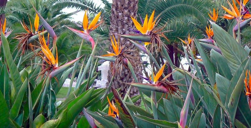 Reginae de la ave del paraíso o del strelitzia de la flor en un parque de Cádiz, Andalucía españa imagenes de archivo
