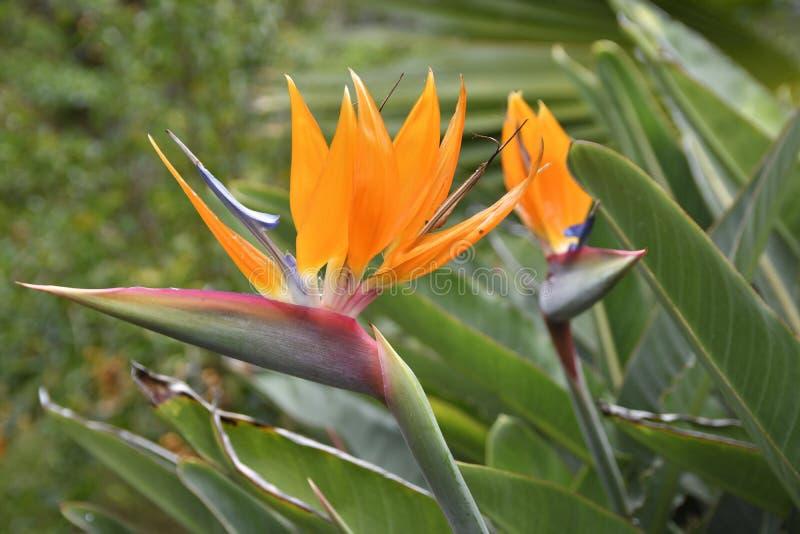 Reginae do Strelitzia da flor do guindaste do parque botânico foto de stock royalty free