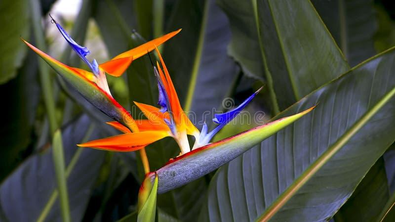 Reginae dobles del strelitzia de la ave del paraíso fotografía de archivo