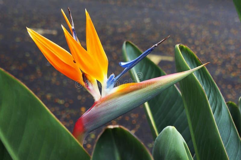 reginae för Fågel-av-paradis blommaStrelitzia arkivbild