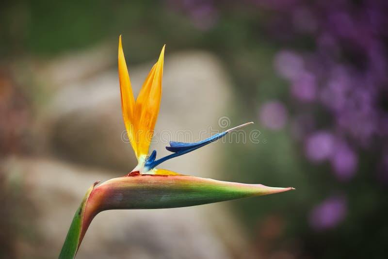Reginae för kranblommaStrelitzia på vår i en trädgård av Spanien arkivfoto