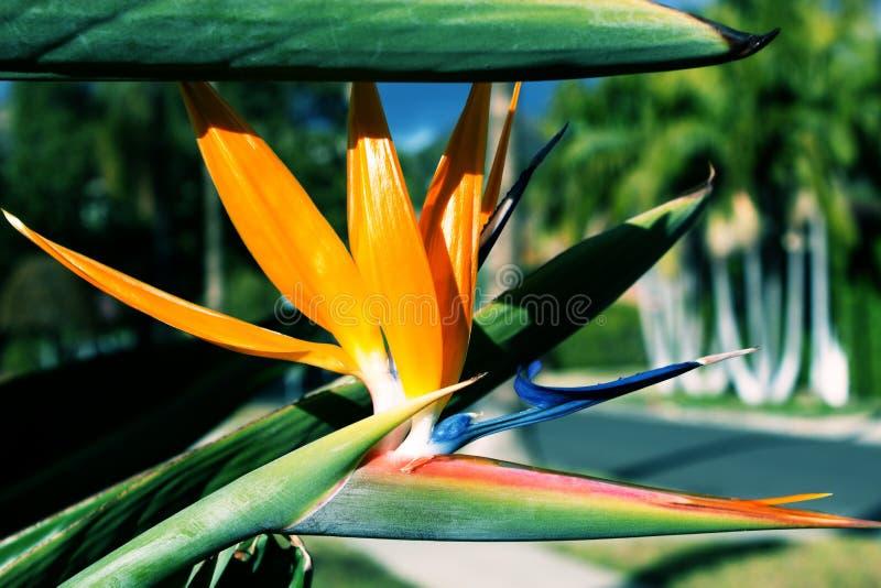 Reginae för strelitzia för blomningväxt också som är bekanta som strelitziacran royaltyfri fotografi