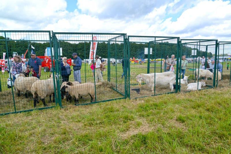 Regione di Kaliningrad, Russia Gabbie all'aperto con le capre e le pecore su una festa agricola immagine stock