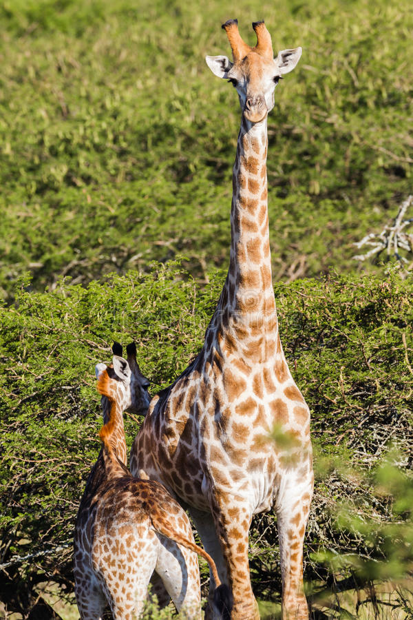 Regione selvaggia degli animali del vitello della giraffa della fauna selvatica immagine stock