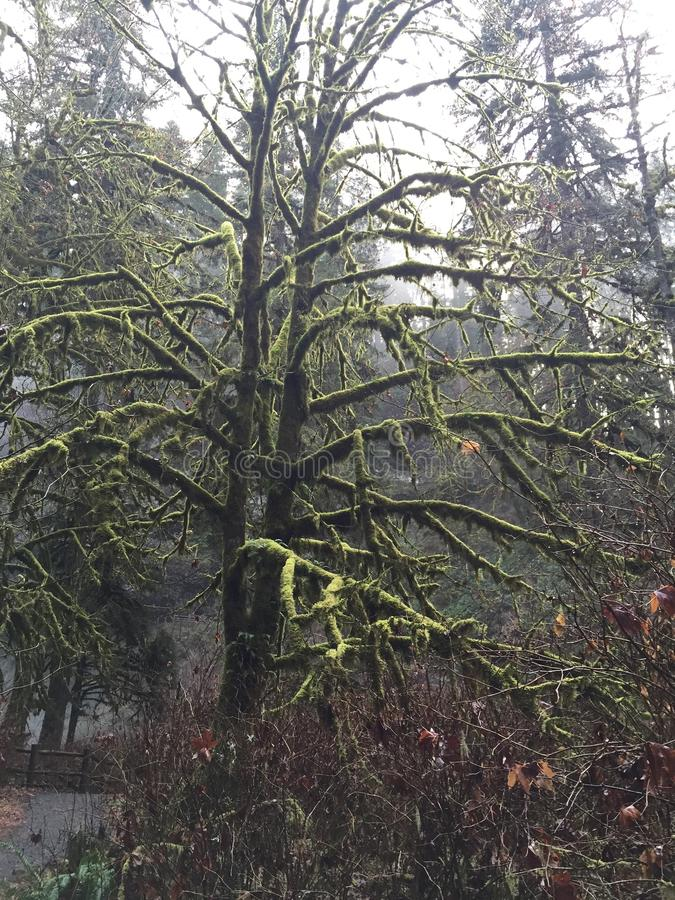 Regione selvaggia di inverno del muschio dell'albero vecchia fotografie stock