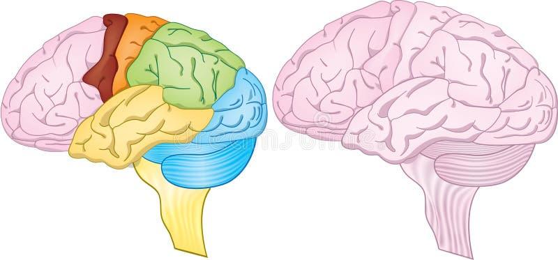 Regiones del cerebro ilustración del vector