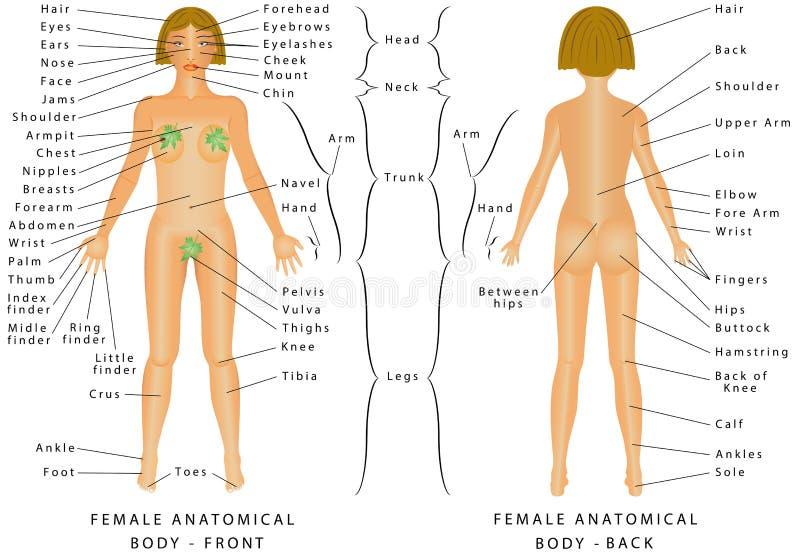 Regions Of Female Stock Vector Illustration Of Abdominal 83577634