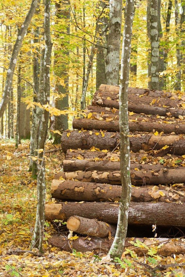 Registro controlado na floresta de Bialowieza fotografia de stock royalty free