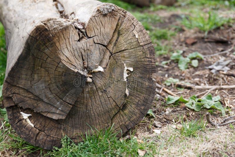 Registros de un ?rbol viejo Reduzca un ?rbol viejo en la tierra deforestation fotos de archivo